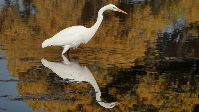 A great egret fishes in the shallow waters of the San Pedro River.