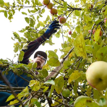 Floyd Beumer reaches for a Cortland apple as he picks trees full of ripe fruit at Collegeville Orchards.