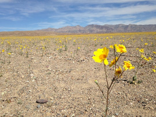 Death Valley has experienced a great wildflower bloom of desert gold over the past month.