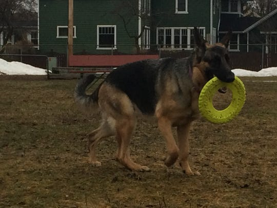 Lola, a German Shepherd belonging to Stevens Point firefighter Frank Minervini, plays on the lot where Emerson School used to be located.
