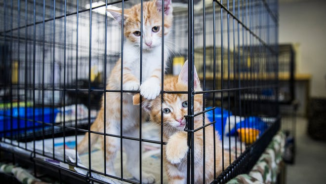 Adoptable cats are placed in an open room as preparations are made for the opening of the Muncie Animal Care and Education Center on Riggin Road Thursday.