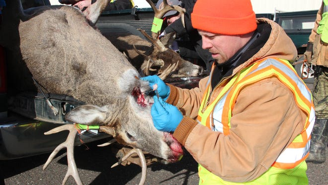 A DNR wildlife technician removes lymph nodes from a white-tailed deer for CWD testing. The fatal deer disease was reported in 2013 on a Waupaca County shooting preserve, the first CWD-positive deer in the county.