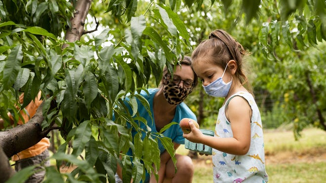 Shannon Gratton and daughter Andreina, 3, pick peaches at Tougas Farm in Northboro in August.