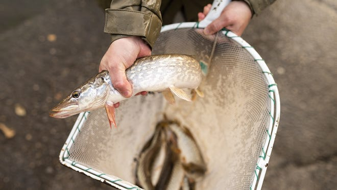 A delivery of New Jersey pike is transferred to Lake Quinsigamond on Tuesday.
