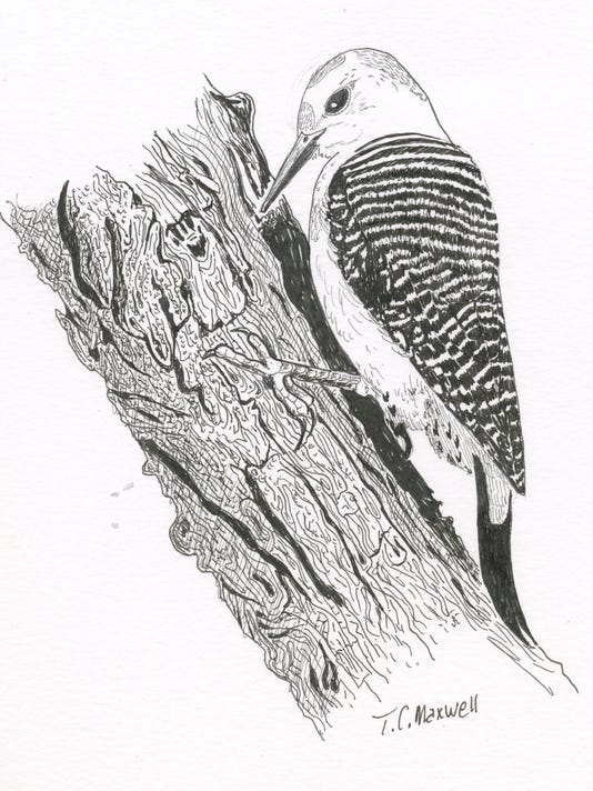 Illustration of golden-fronted woodpecker