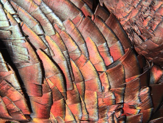 Iridescent colors show on the feathers of a wild turkey.