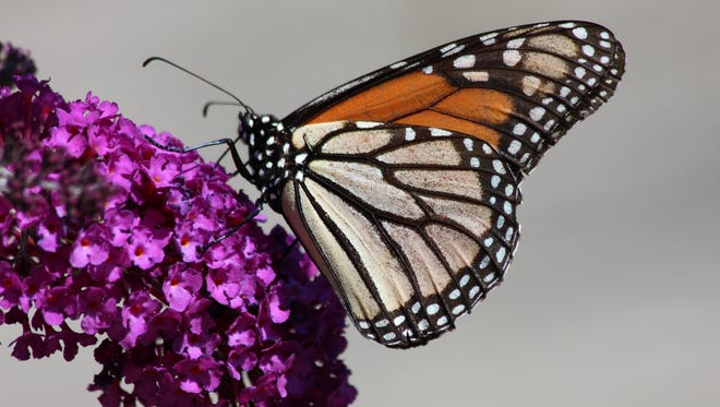 Butterflies are blooming in Grand Rapids.