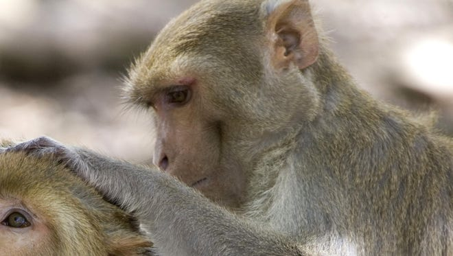 Rhesus macaques are the type of monkey exposed to the bacteria.