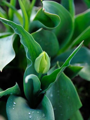 A tulip bud is seen at the end of March. This year, spring bulbs are already coming out of the soil.