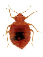 Bedbugs are highly mobile and difficult to get rid of once they've infested an area. They are about the size of apple seeds.