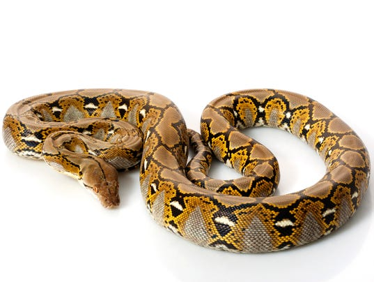 #stockphoto Reticulated Python Stock Photo
