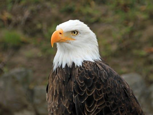 #stock Bald eagle Stock Photo