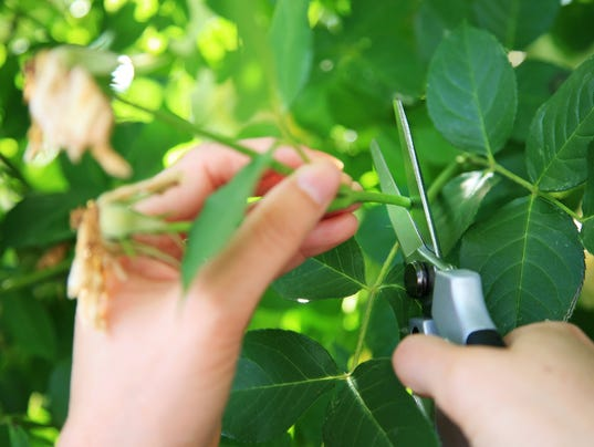 Gardening pruning the roses