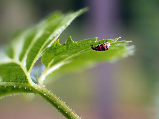 Ladybugs consume plant-eating insects, such as aphids,