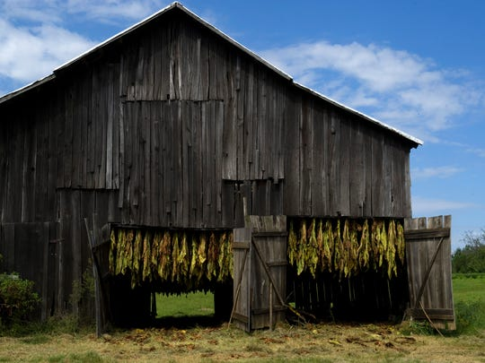 A barn, fully loaded with burley tobacco, will house the plants for curing until they're ready to be stripped and baled this fall.