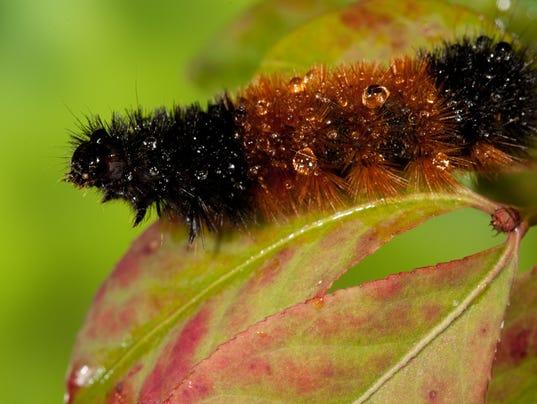 Wooly Bear Caterpillar Walking