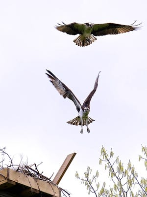 Two ospreys fly around a new nest on May 7th at midday. The platform was built on a former utility pole erected in 2015 to make a possible nesting site.