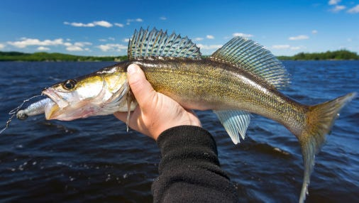 Walleye are prized gamefish.