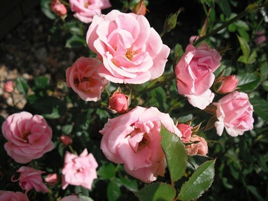 Close-up of pink roses.