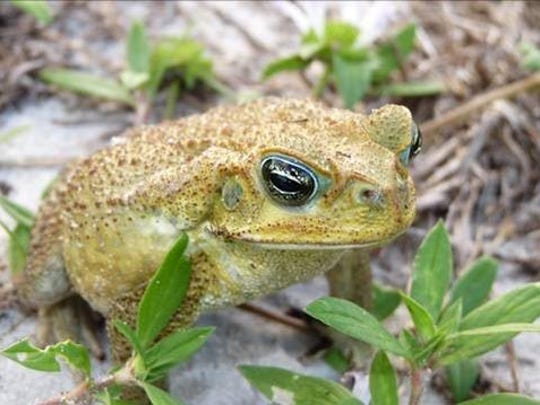 Cane toads are sometimes confused with the native Southern
