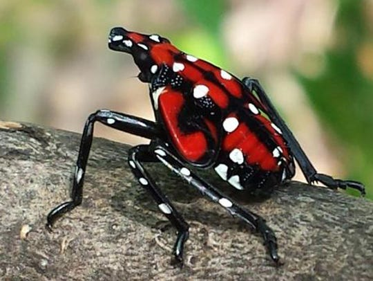 Spotted lanternfly nymph.