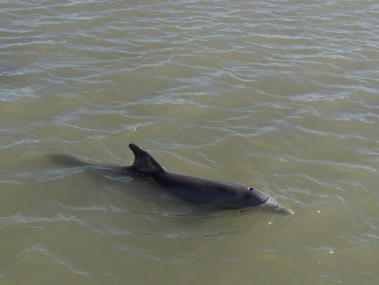 A dolphin surfaces in Estero Bay. Research recently found both blue-green algae toxins and brain disease in 13 of 14 dolphins from Florida and Massachusetts.