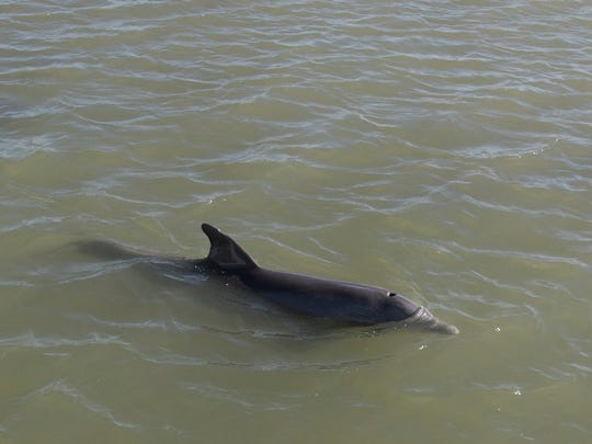 A dolphin surfaces in Estero Bay to the delight of