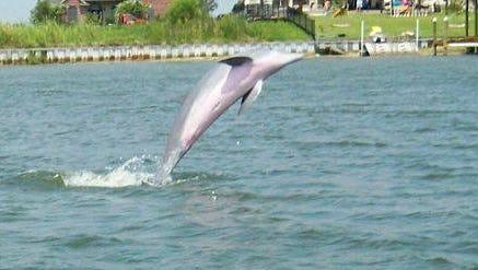 A popular dolphin seen in waters near Slidell, La.