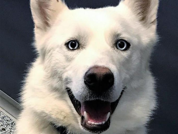 KODA Siberian Husky & Samoyed Mix • Young • Male •