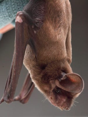 A volunteer recently found a roost for the rare Florida bonneted bats around a Coral Gables golf course.