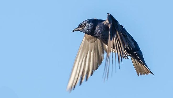A purple martin in flight.
