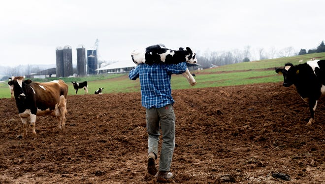 Dairy farmer Caleb Watson carries a newborn calf through a field on his farm in Sweetwater, Tennessee on Wednesday, March 28, 2018. Watson's dairy, as well as several others in the area, was terminated by Dean's Foods earlier this year and given 90 days until the termination becomes effective. His farm has not yet found a new producer willing to purchase his farm's milk.