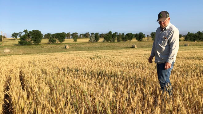 Farmer John Weinand surveys a wheat field near Beulah, N.D., earlier this month that should be twice as tall as it is. Drought in western North Dakota this summer is laying waste to crops _ some of which won't even be worth harvesting.