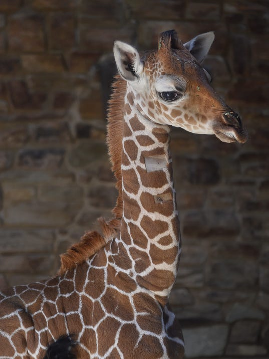 Julius the baby giraffe dies and thousands are mourning
