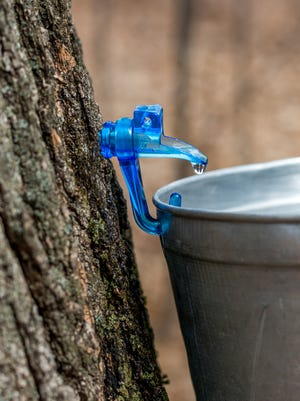 Clear maple sap dripping into bucket