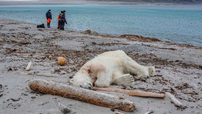 """A dead polar bear lays at the beach at Sjuøyane north of Spitzbergen, Norway, on July 28, 2018. Norwegian authorities said the polar bear attacked and injured a crew member of the """"MS Bremen"""" cruise ship who was leading tourists off the vessel on an Arctic archipelago between mainland Norway and the North Pole."""