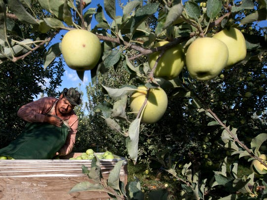 In this Sept. 16, 2013, file photo, Sergio Garcia empties a bag of just-picked golden delicious apples into a bin at a Valicoff Fruit Company orchard near Wapato, Wash. Harvesting the vast fruit orchards of Eastern Washington each year requires thousands of farmworkers, many of them working illegally in the United States. That system could eventually come to an end as at least two companies are rushing to get robotic fruit picking machines to market.