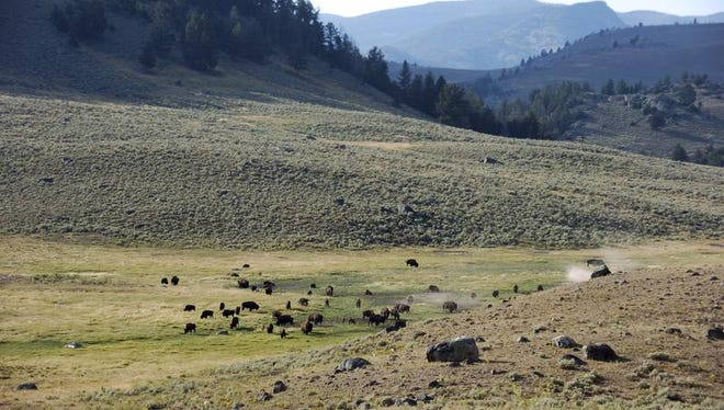 In this Aug. 26, 2016, file photo, a herd of bison appears in Yellowstone National Park's Lamar Valley in Montana. For conservatives who have long believed federal managers of America's vast public lands put more value on endangered owls than people and jobs, Donald Trump's election raises hopes for significant increases in oil and gas drilling, mining, grazing, timber harvesting and perhaps even a shift of control to state or local governments.