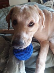 Charlie, a 1-year-old yellow Lab, went missing from