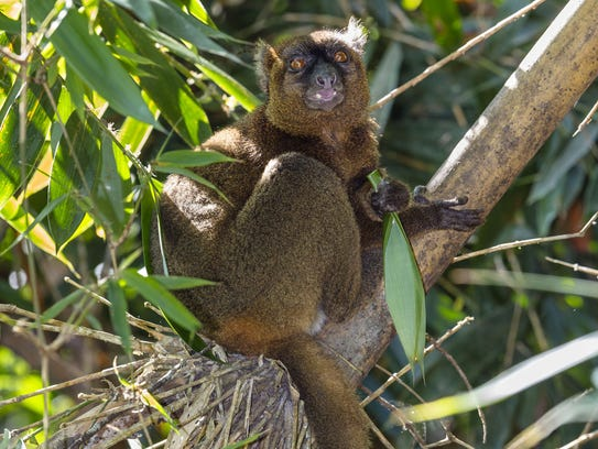 This Greater Bamboo Lemur lives in Madagascar's Ranomafana