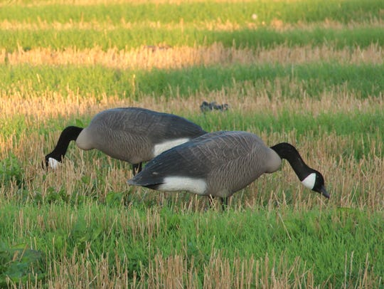 Two Canada goose decoys stand in a winter wheat field