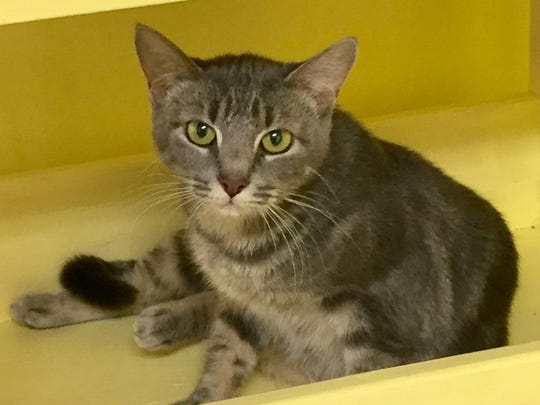 Ellie is a young, spayed female domestic short hair.