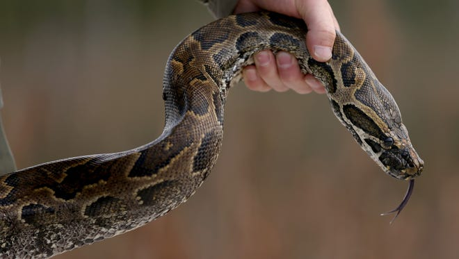 Edward Mercer, a   Florida Fish and Wildlife Conservation Commission non-native Wildlife Technician, holds a North African Python during a press conference in the Florida Everglades about the non-native species on Jan. 29, 2015 in Miami.