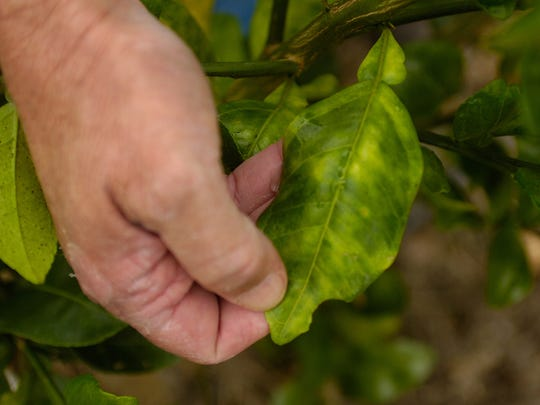 Peter Spyke, owner of Arapaho Citrus Management, Inc. in Fort Pierce, points out a leaf on a grapefruit tree that is affected by citrus greening in his 10-acre experimental hydroponics grove in 2008. Greening, a bacterial disease that slowly kills trees while reducing fruit yield and causing early droppage along the way, has infected nearly 100 percent of mature citrus trees in Florida.