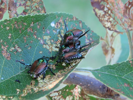 Japanese beetles feast on the leaves of an apple tree