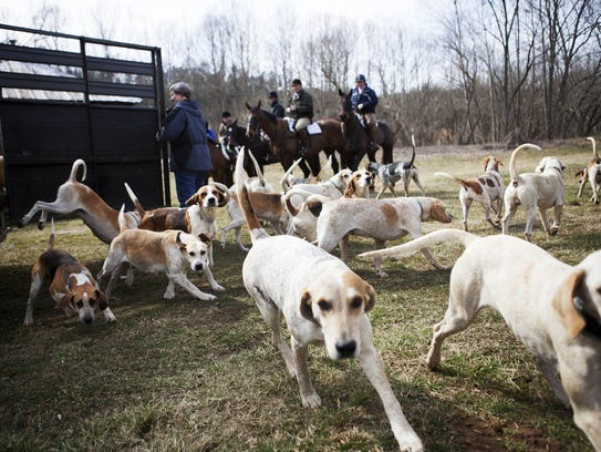 The hounds are let of out the trailer before the hunt