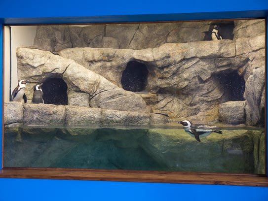 Four African penguins are seen waddling and splashing