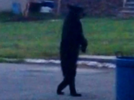 A bear walking upright like a human has gone viral.