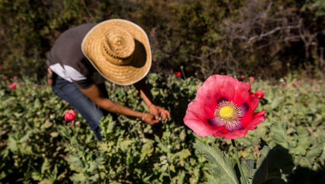A farmer works in a poppy field in the state of Guerrero, Mexico on Jan. 25, 2016. As more U.S. states legalize the use of marijuana, Mexico's violent drug cartels are turning to the basic law of supply and demand. That means small farmers, or campesinos, who long planted marijuana to be smuggled into the United States are switching to opium poppies, which bring a higher price. The opium gum harvested is processed into heroin to feed the ravaging U.S. opioid crisis.