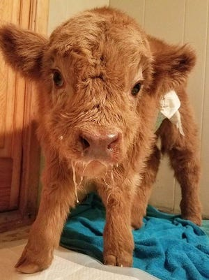 This photo of Baby James was one of the first to appear of the cow on the farm's Instagram page. At the time, he was living inside the Hopson's house until he learned to take a bottle.